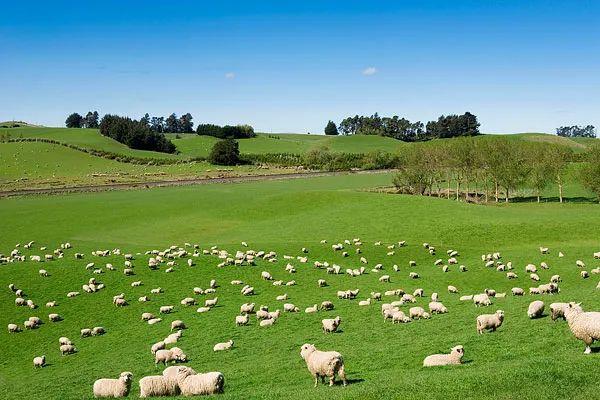 村上春树:她的镇,她的绵羊